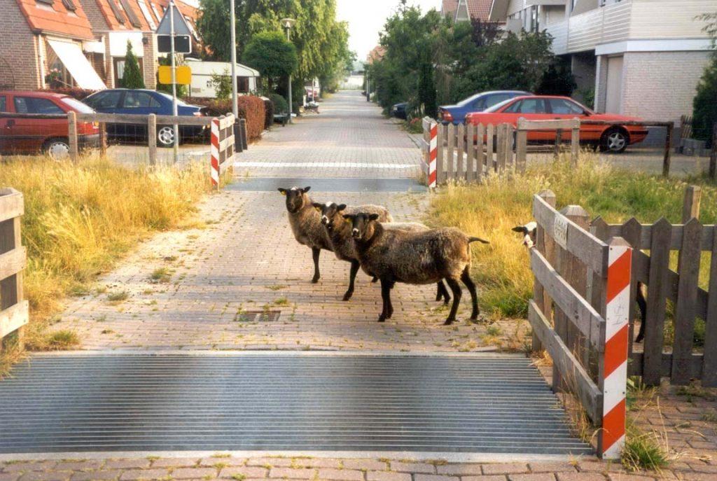 Schapen in de wijk - dierzaam veilig
